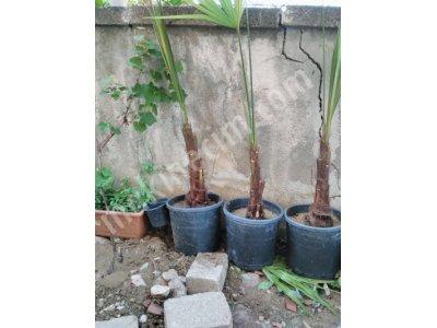 Palmiye Şamarot,üretimden